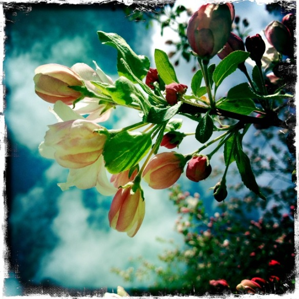 Crab apple blooms
